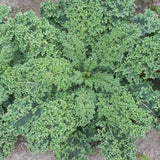 Organic Vates Kale Seeds (500mg) - My Patriot Supply