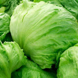 Organic Great Lakes - Batavian Lettuce Seeds (500mg) - My Patriot Supply