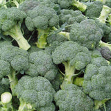 Organic Di Cicco Broccoli Seeds (500mg) - My Patriot Supply