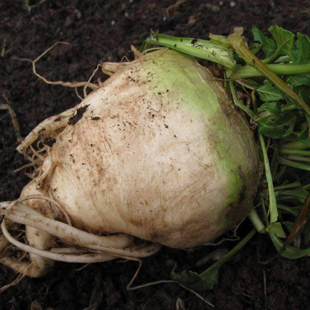 how to grow beets from beet tops