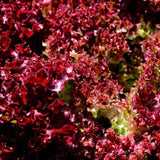 Organic Lolla Rossa Darkness - Leaf Lettuce Seeds (500mg) - My Patriot Supply