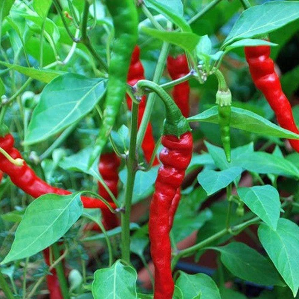 Growing Peppers In Your Vegetable Garden: Organic Pepper: Hot Cayenne Long Red Thin Pepper (250mg