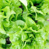 Organic Buttercrunch - Butterhead Lettuce Seeds (500mg) - My Patriot Supply