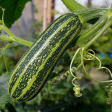 Organic Cocozelle Summer Squash Seeds (7g) - My Patriot Supply