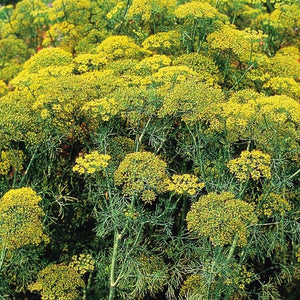 Dill Dukat Herb Seeds (500mg)