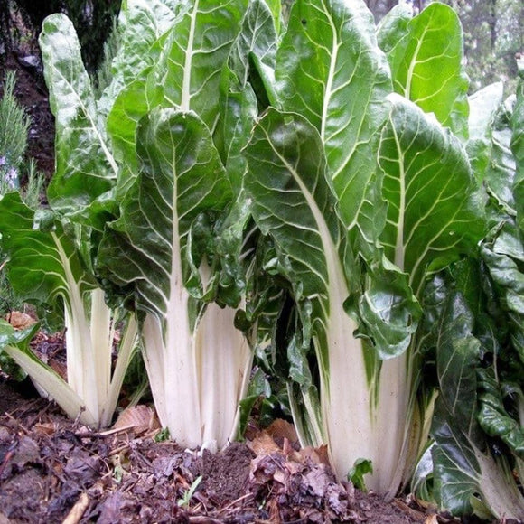 Lucullus Swiss Chard Seeds (3g) - My Patriot Supply