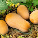Organic Waltham Butternut Winter Squash Seeds (5g) - My Patriot Supply