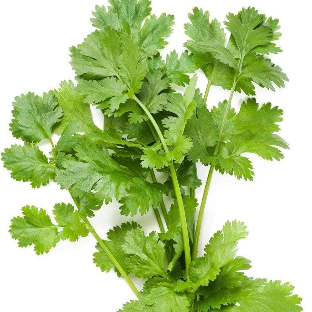 "Picture of 2 (TWO) Live Cilantro aka Coriandrum sativum Herbs Fit 3.5"" Pot"