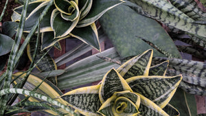 Buy Sansevieria online in Canada