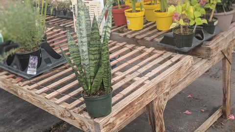 Buy Snake plant online in Canada