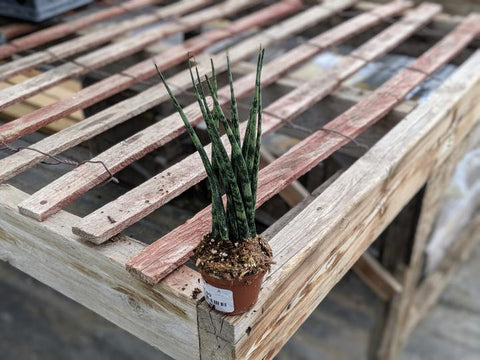 Order sansevieria Mikado online and ship across Canada