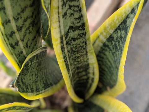 Buy mother in law tongue sansevieria online and ship indoor plants