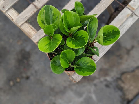 Buy Variegated peperomia green edge obtusifolia online in Canada