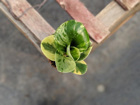 shop marbled peperomia online in Alberta, ship across Canada