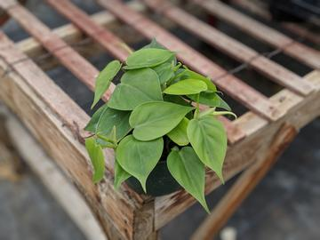 Heart Leafed Philodendron interior plant