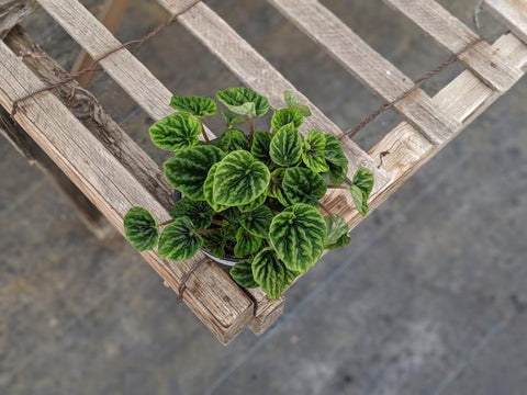 Buy Peperomia Green ripple online in Canada