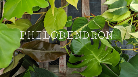 Browse Philodendron interior plants online
