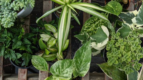 Shop indoor plants online in Canada