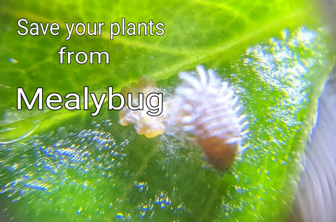 Mealybug 101 - how to kill mealybug on houseplants