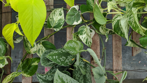 Shop Scindapsus and Pothos online in Canada
