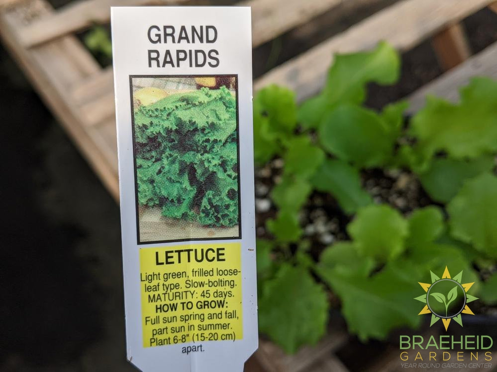 Lettuce 'Grand Rapids' -NO SHIP-