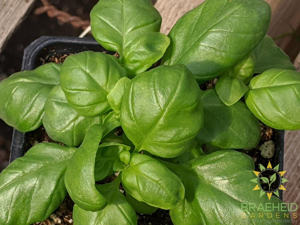 Herb Basil Genovese -NO SHIP-