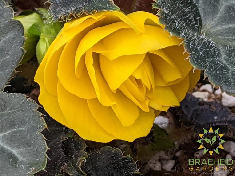 Begonia 'Nonstop Yellow' - NO SHIP -