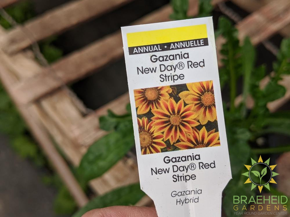 Gazania New Day 'Red Stripe' - NO SHIP -