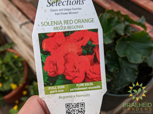 Begonia Solenia 'Red Orange' PS - NO SHIP -