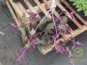 Large Purple Passion Hanging Basket - NO SHIP -