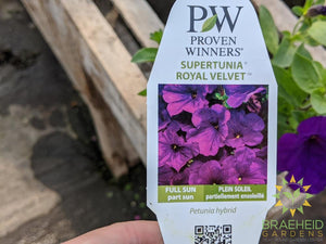 Supertunia 'Royal Velvet' PW - NO SHIP -
