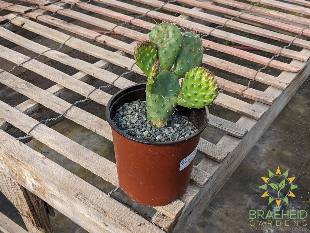 Opuntia Polycantha 'Cream to white' - Cold Hardy