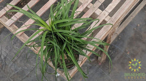 Ponytail Palm | Safe & Secure shipping. Ship Canada