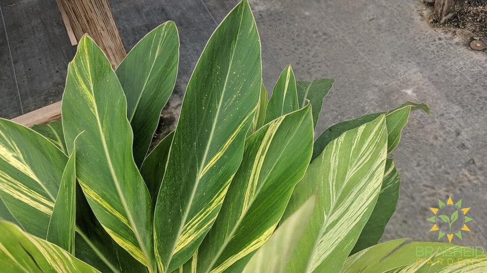 Large Alpinia Ginger Variegated - NO SHIP
