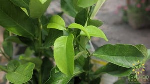 Meyer Lemon Citrus Plant