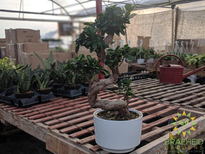 S Shaped Ficus Ginseng Bonsai - No Ship
