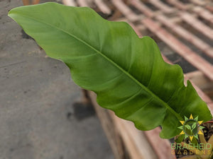 Philodendron Narrow Green (Tiger tooth)