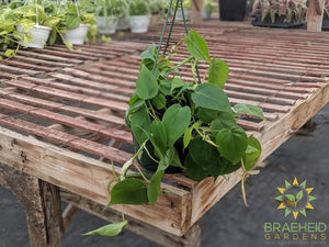 Heart Leaf Philodendron Hanging Basket
