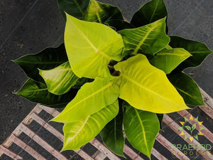 Large Moonlight Philodendron - NO SHIP