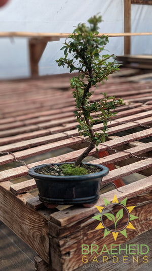 Cotoneaster S Shaped Bonsai