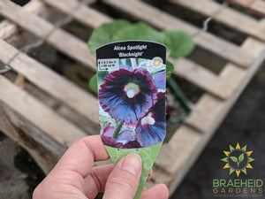 Hollyhock 'Blacknight' - NO SHIP -