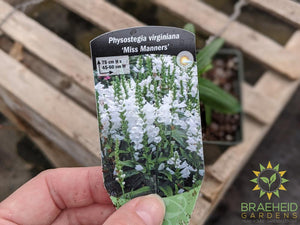 Obedient Plant 'Miss Manners' - NO SHIP -