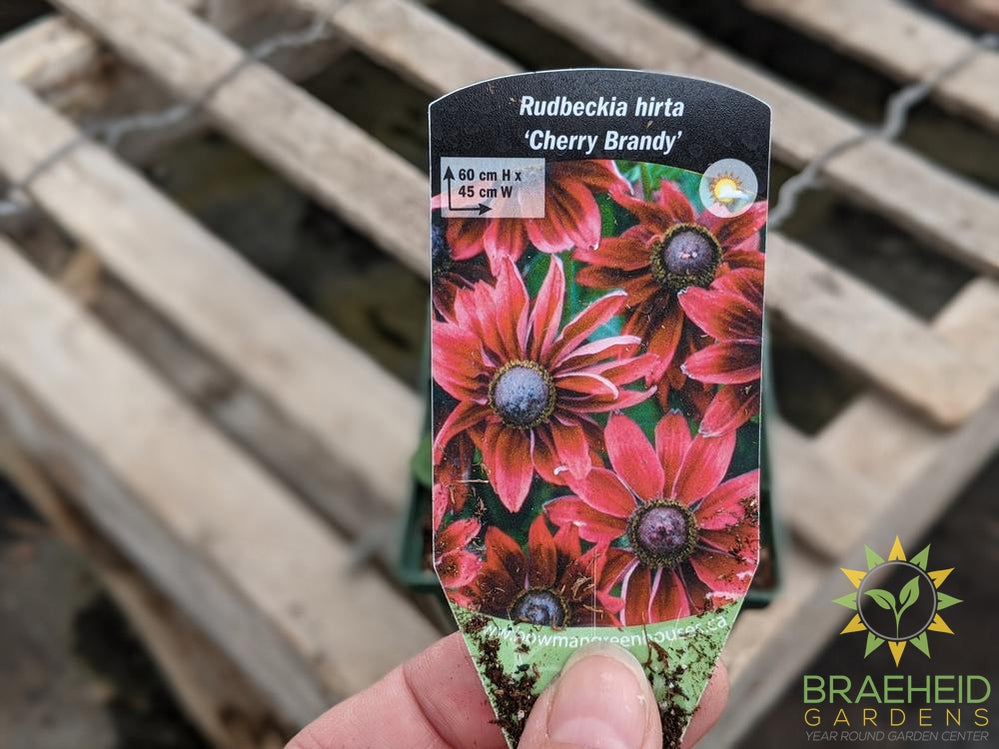 Rudbeckia 'Cherry Brandy' Perennial - NO SHIP -