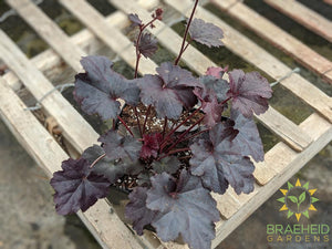 Heuchera 'Obsidian' - NO SHIP -
