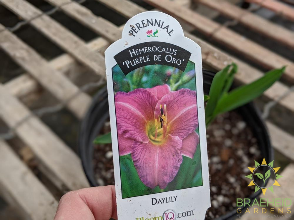 Daylily 'Purple de Oro' - NO SHIP -