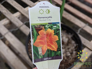 Daylily 'Rocket City' - NO SHIP -