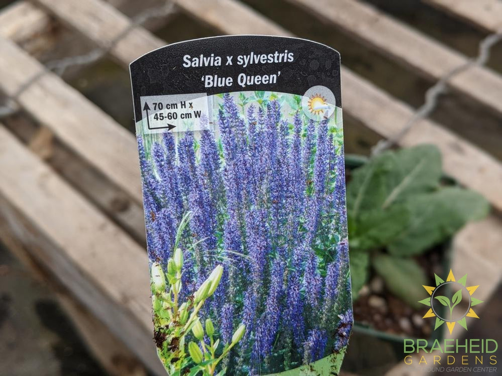 Salvia 'Blue Queen' (Perennial) - NO SHIP -