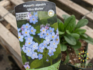 Myosotis 'Ultra Marine' - NO SHIP -