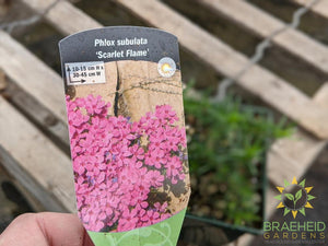 Phlox 'Scarlet Flame' - NO SHIP -