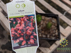 Asiatic Lily 'Lily Looks Tiny Shadow' - NO SHIP -